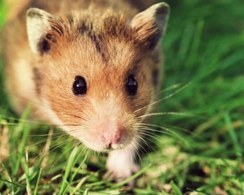 Hamster Breeds: Which is Right for Me?